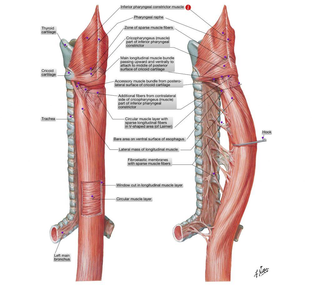 simonetta alibrandi osteopata anatomia dell'esofago reflusso gastroesofageo