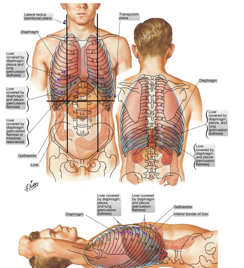 simonetta alibrandi osteopata topografia del fegato