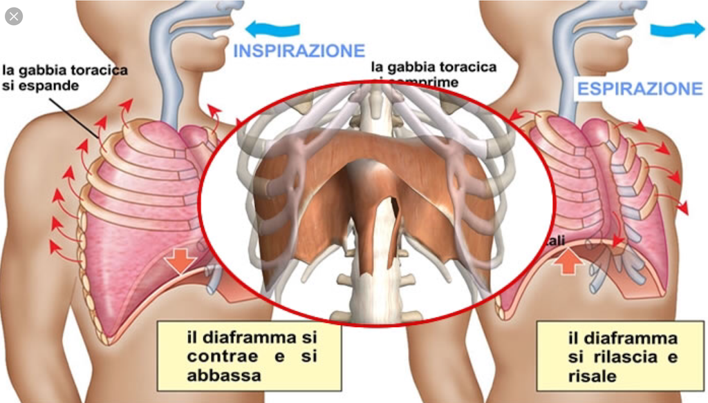 simonetta alibrandi osteopata movimenti del diaframma nella respirazione