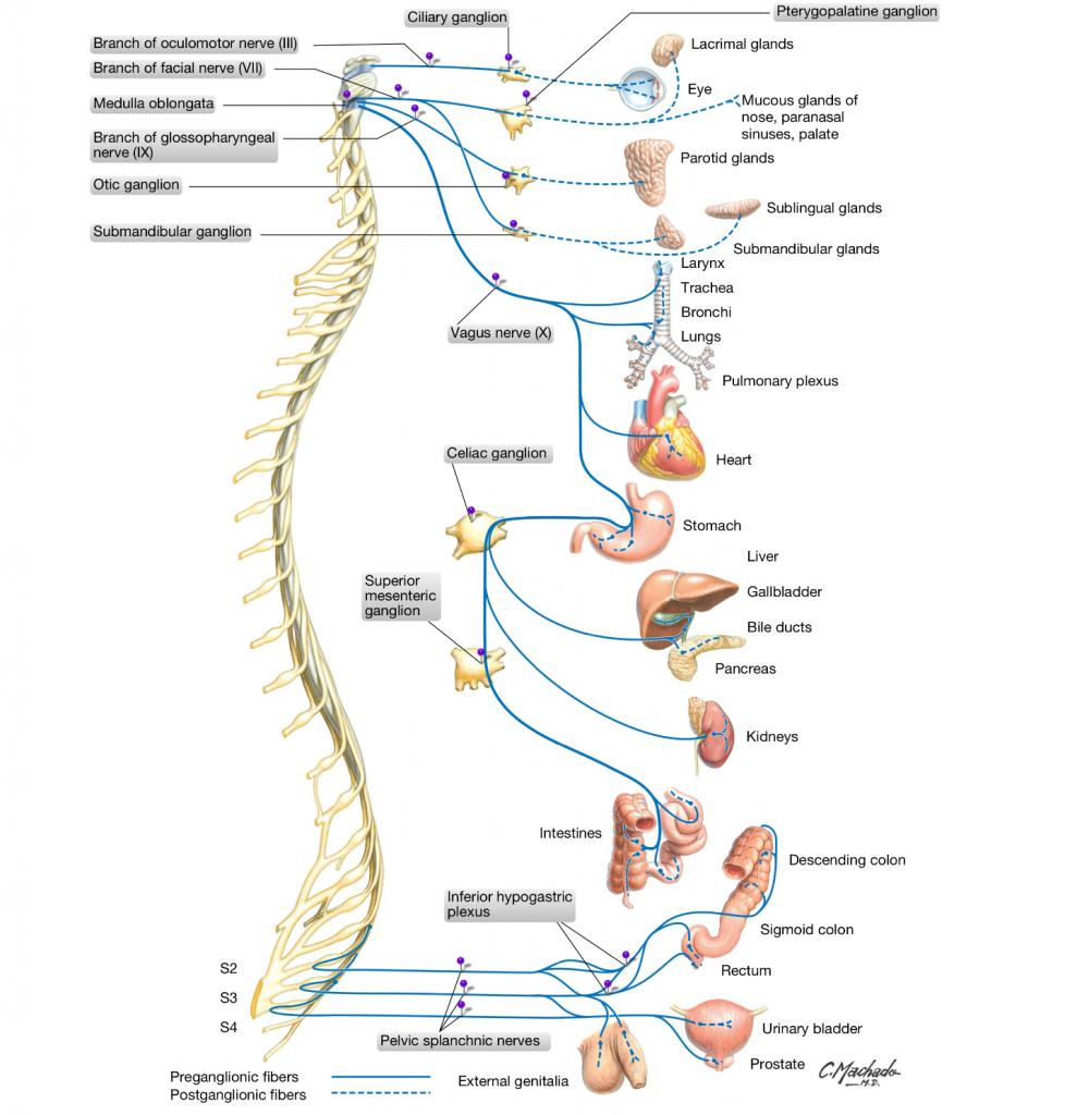 simonetta alibrandi osteopata sistema nervoso autonomo parasimpaticomal di schiena osteopata roma colon irritabile