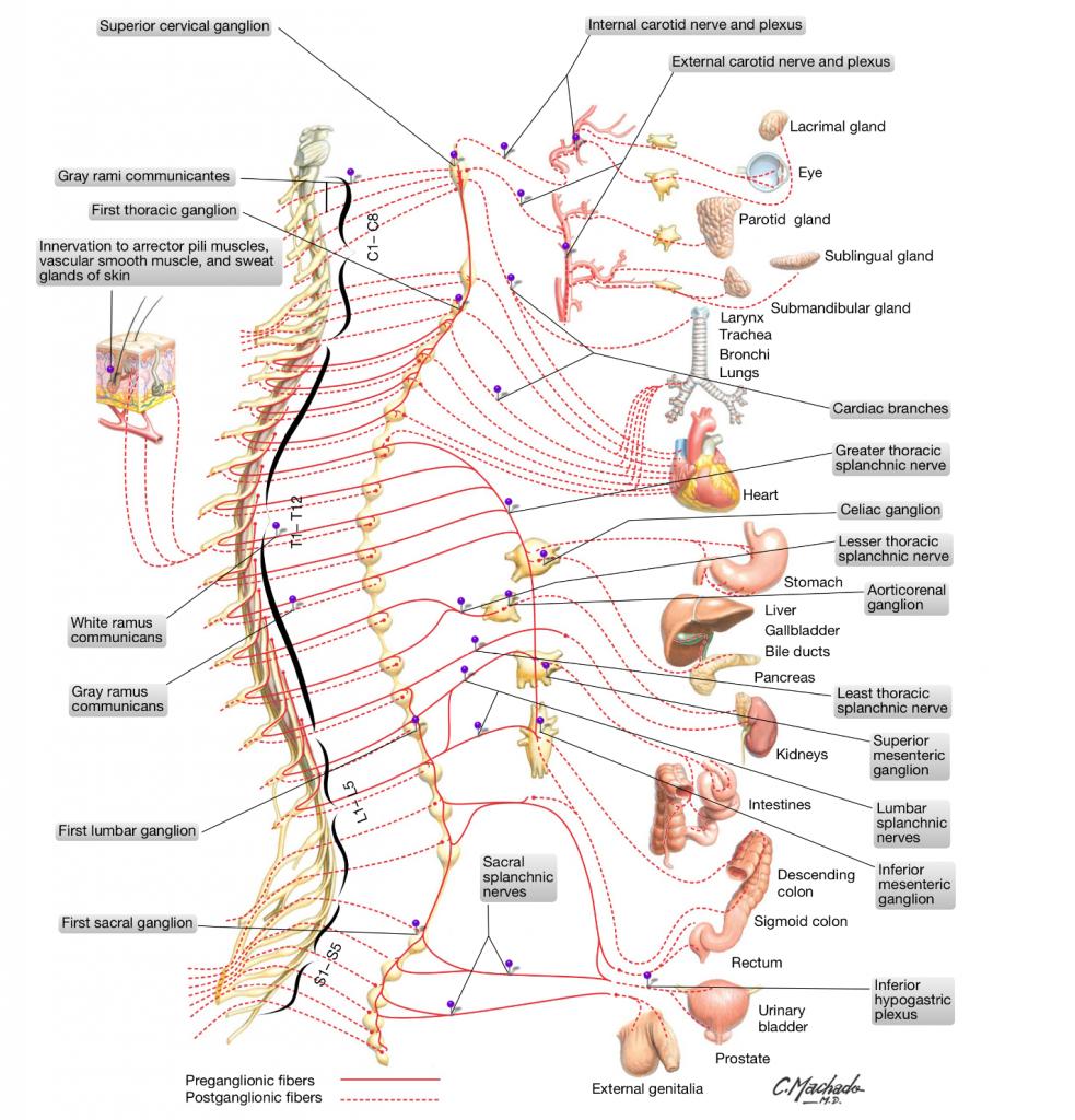 simonetta alibrandi osteopata sistema nervoso autonomo simpatico osteopata roma colon irritabile mal di schiena