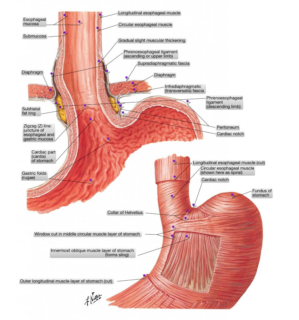 simonetta alibrandi osteopata stomaco
